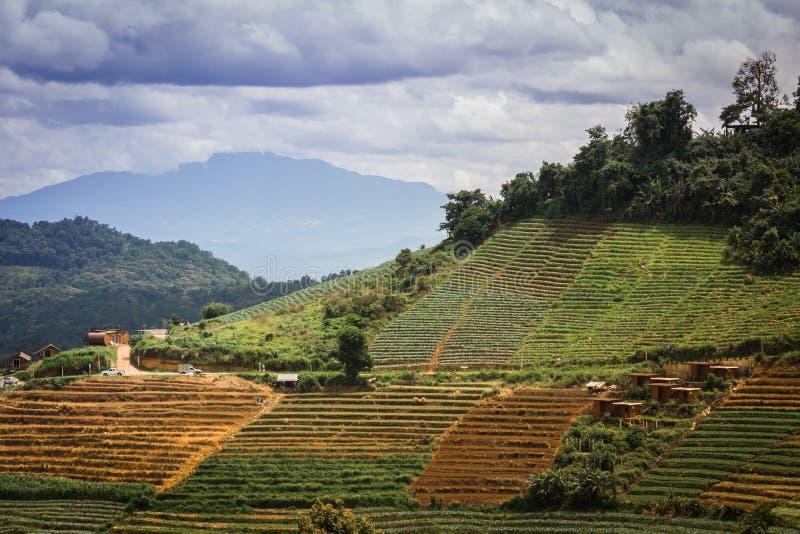 Bel endroit avec de petites terrasses de chou de colline cultivant avec du Cl images libres de droits