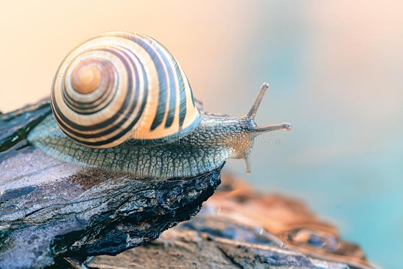 Bel escargot brun photos stock