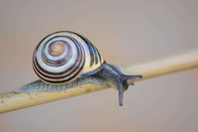 Bel escargot de rampement photographie stock
