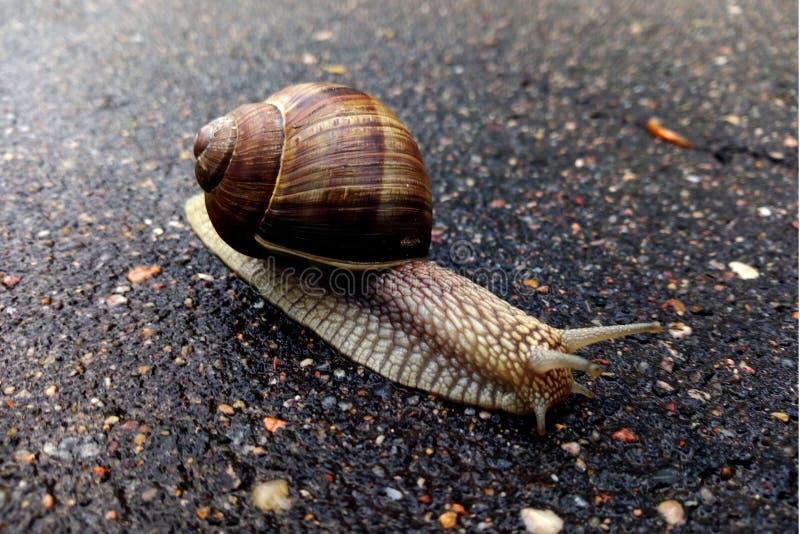 Bel escargot sur la route photos stock