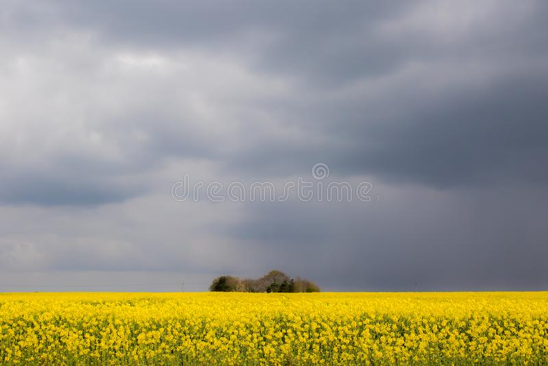 Bel horizontal agricole Gisement de pétrole de graine de colza Culture jaune de colza ol?agineux photographie stock libre de droits