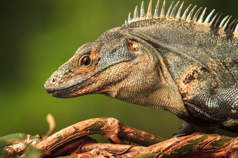 Bel iguane en Manuel Antonio National Park photographie stock libre de droits