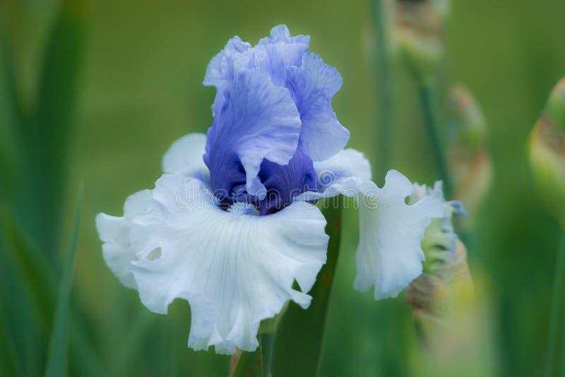 Bel iris bleu et blanc de couleur images libres de droits