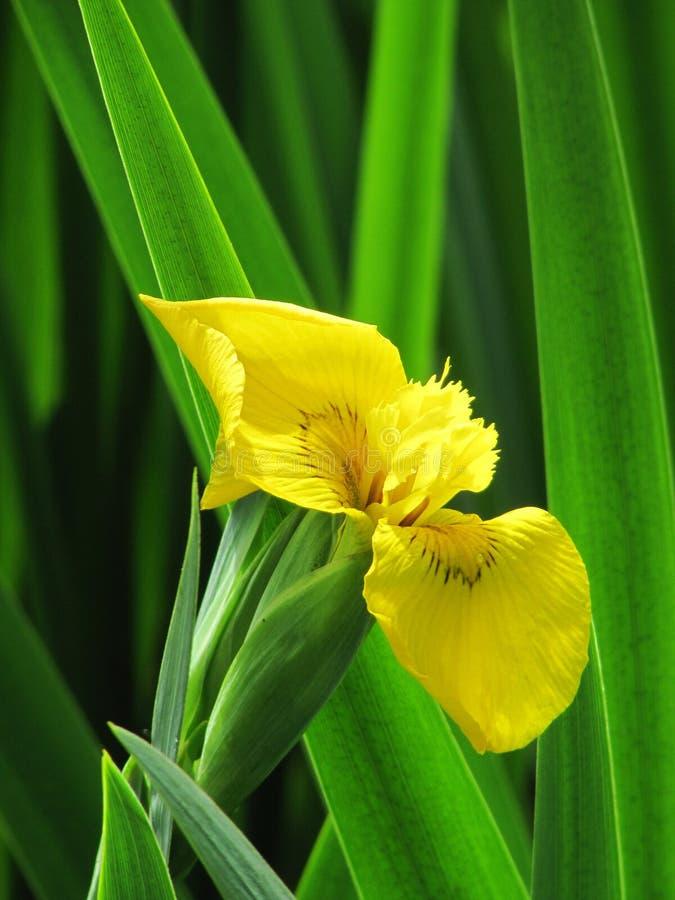 Bel iris jaune de fleur dans le feuillage vert photographie stock