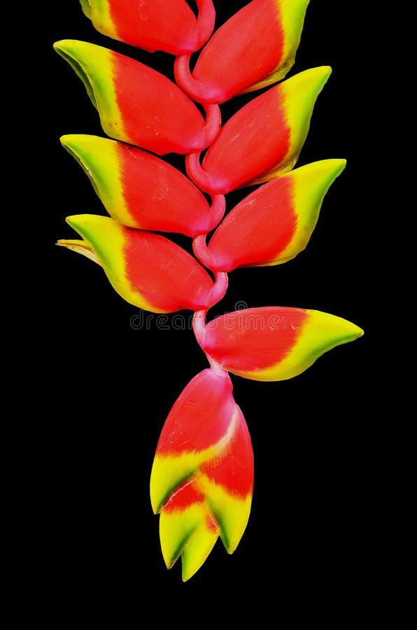 Bel isolat de fleur de Heliconia sur le fond noir images stock