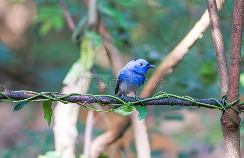 Bel oiseau bleu de monarque noir-naped sur la branche image libre de droits