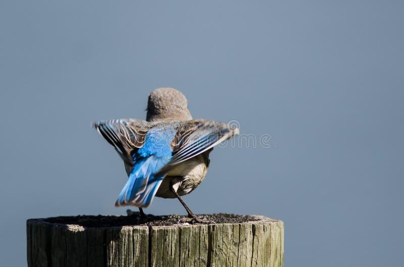Bel oiseau bleu de montagne disposant à effectuer le vol d'un poteau en bois superficiel par les agents image libre de droits