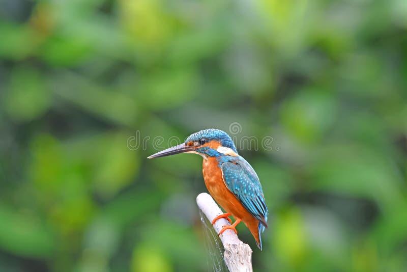 Bel oiseau coloré de martin-pêcheur, martin-pêcheur Bleu-à oreilles masculin (Alcedo meninting), se tenant sur une branche photographie stock libre de droits