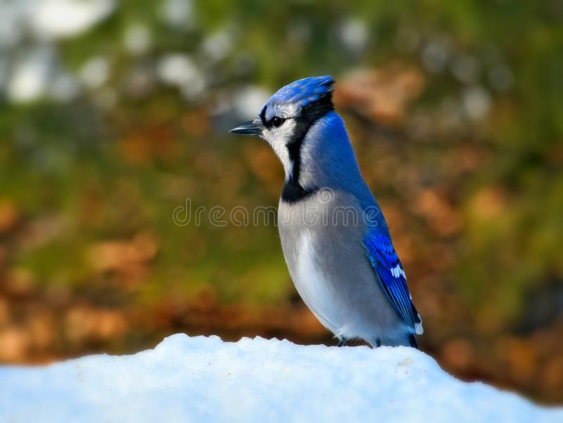 Bel oiseau de geai bleu se tenant sur la neige blanche le jour ensoleillé photographie stock libre de droits