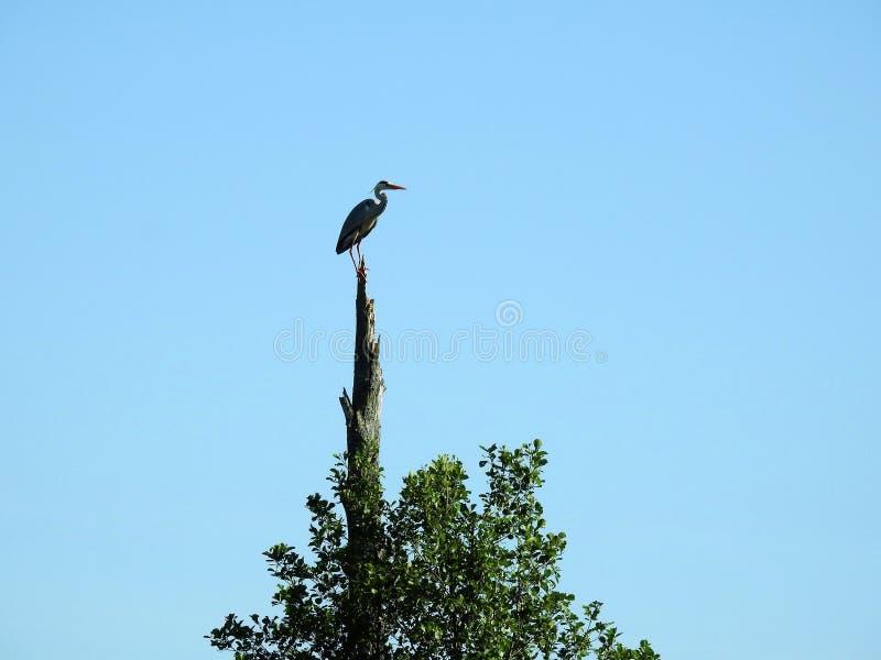 Bel oiseau de h?ron sur la branche d'arbre, Lithuanie photos libres de droits