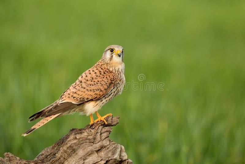 Bel oiseau de proie photo libre de droits