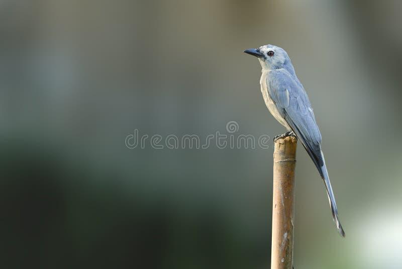 Bel oiseau (Drongo cendré) étant perché sur le bois de construction photo stock