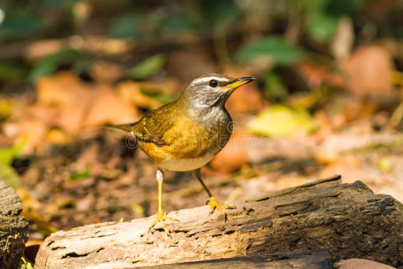 Bel oiseau Eyebrowed Thrush& x28 ; Obscures& x29 de Turdus ; l'eau de boissons image libre de droits