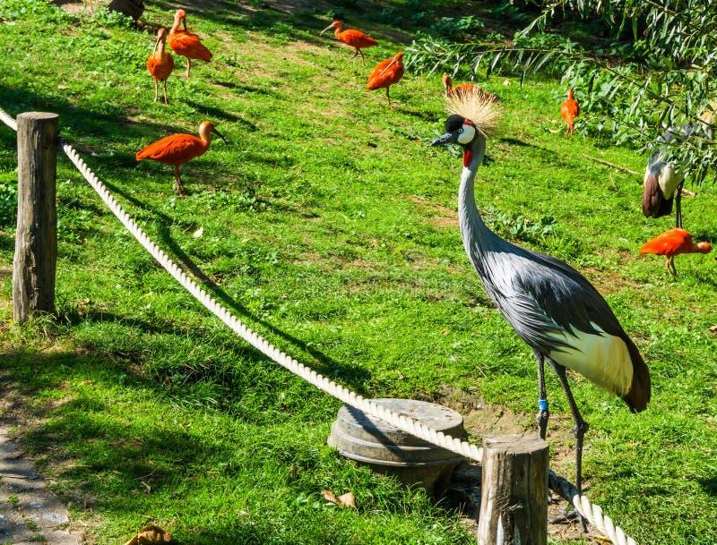 Bel oiseau gris de grue avec les cheveux jaunes de touffe et les oiseaux rouges d'IBIS d'écarlate à l'arrière-plan photos libres de droits