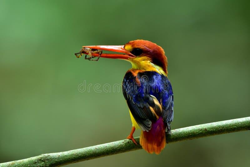 Bel oiseau, martin-pêcheur nain ou à dos noir oriental avec s images libres de droits