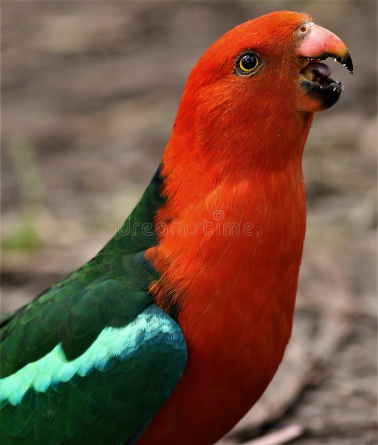 Bel oiseau masculin du Roi Parrot Australian photos libres de droits