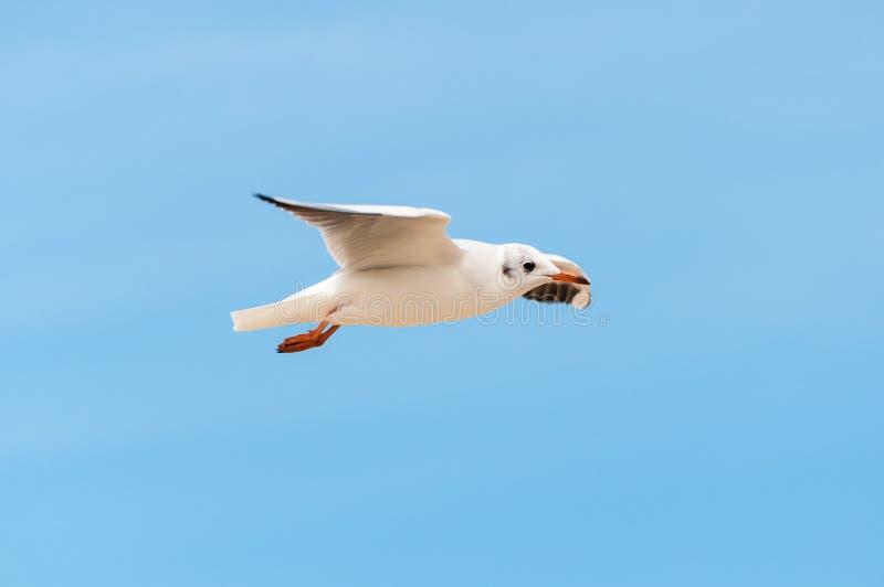 Bel oiseau, mouette blanche, mouette sur le vol image libre de droits