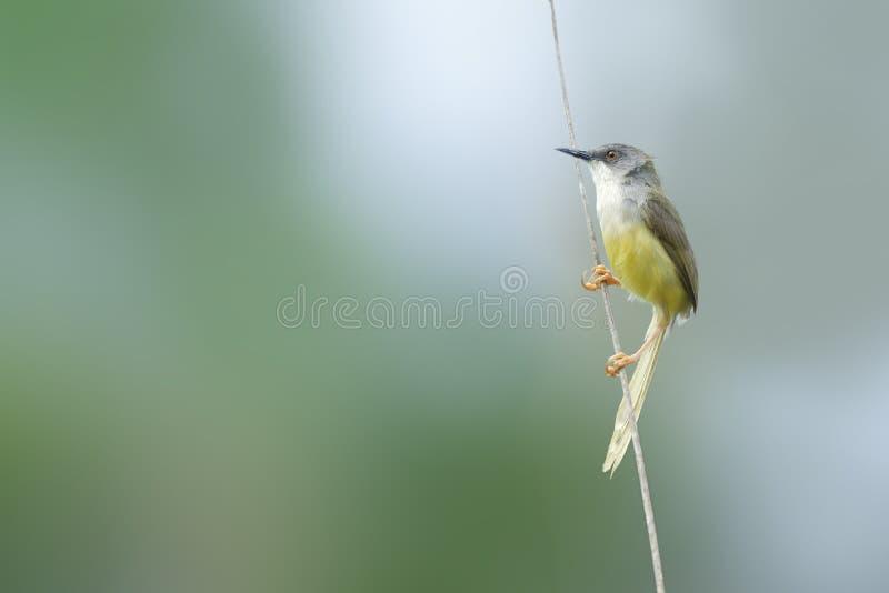 Bel oiseau (Prinia gonflé par jaune) étant perché sur la belle branche images libres de droits