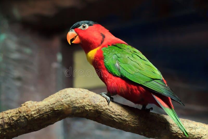 Bel oiseau rouge de perroquet photos stock