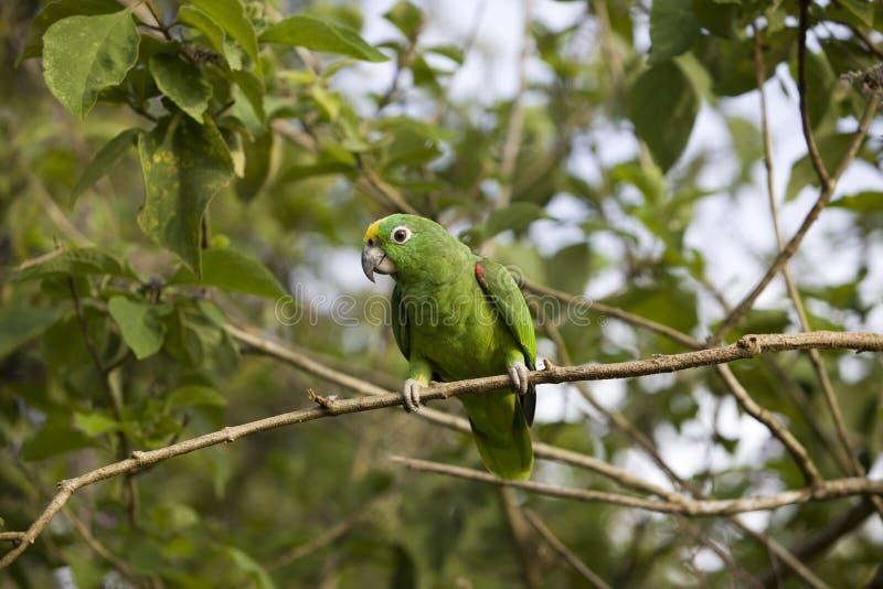 Bel oiseau vert de perroquet dans l'habitat de forêt, se reposant sur l'arbre avec les feuilles vertes, cachées dans la forêt, cô photo libre de droits