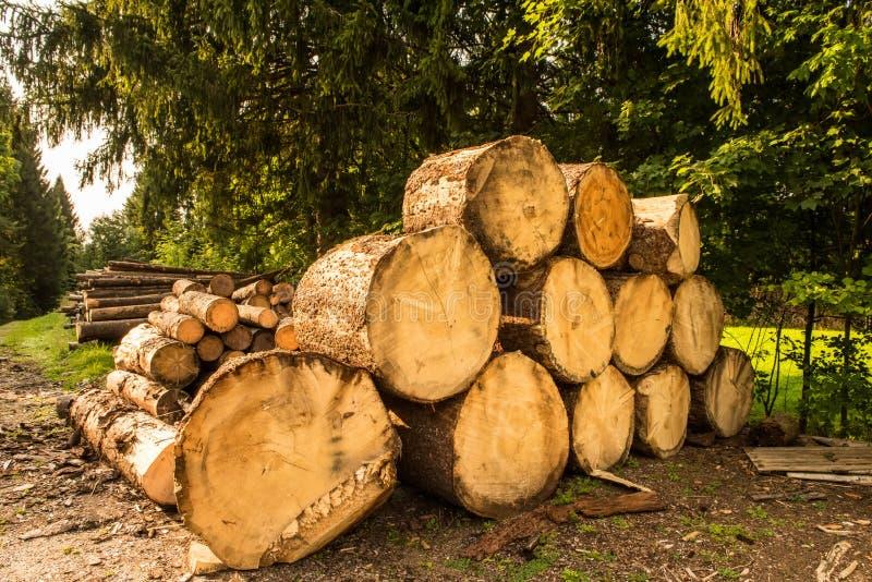Bel sterty w sosnowym lesie obrazy royalty free