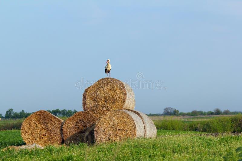 bela biel bocianowy słomiany fotografia stock