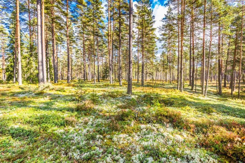Bela floresta na zona montanhosa da Suécia em cores do outono com bela vegetação do solo imagens de stock royalty free