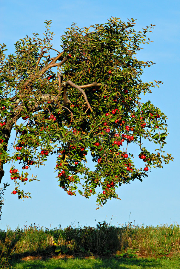 Beladener Apfelbaum stockfotos