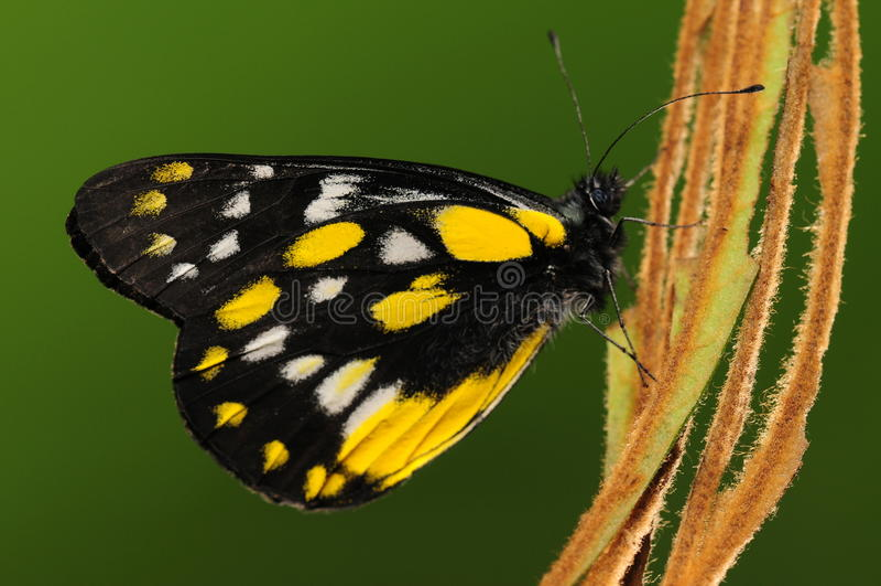 Beladona/borboleta de Delias no galho fotografia de stock