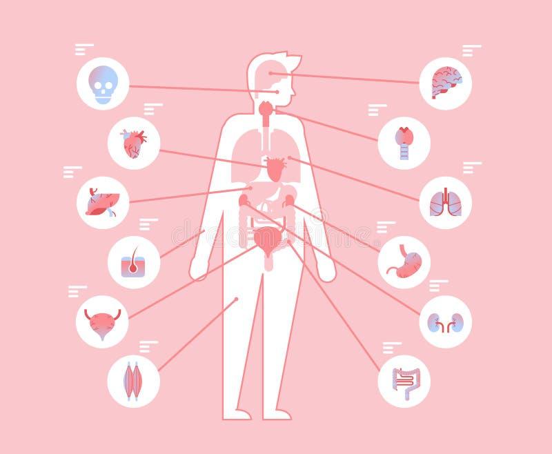 Belangrijke menselijk lichaams interne organen binnen anatomisch medisch structuur infographic malplaatje en vlak gezondheidszorg vector illustratie