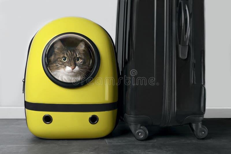 Belangrijkste cocon kat die nieuwsgierig is uit een rugzak drager naast een reiskoffer royalty-vrije stock foto