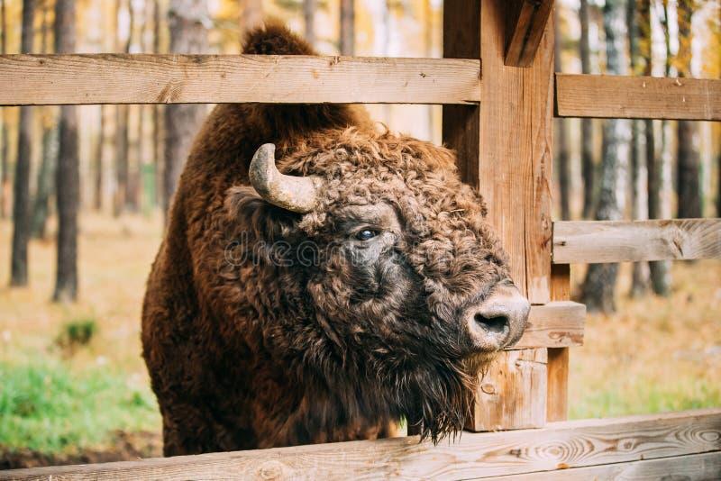 belarus Europeo Bison Or Bison Bonasus, inoltre conosciuto come il bisonte O immagini stock libere da diritti