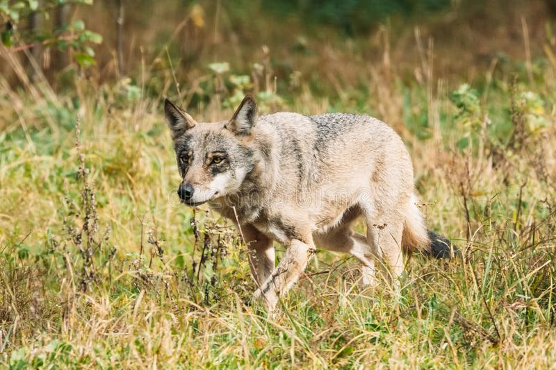 Belarus. Forest Eurasian Wolf - Canis Lupus Running In Natural E stock image