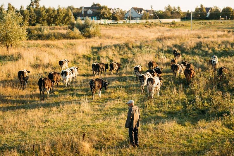 belarus Schäfer-Herding Cows In-Grün-Wiese am Sommer-Abend lizenzfreie stockfotos