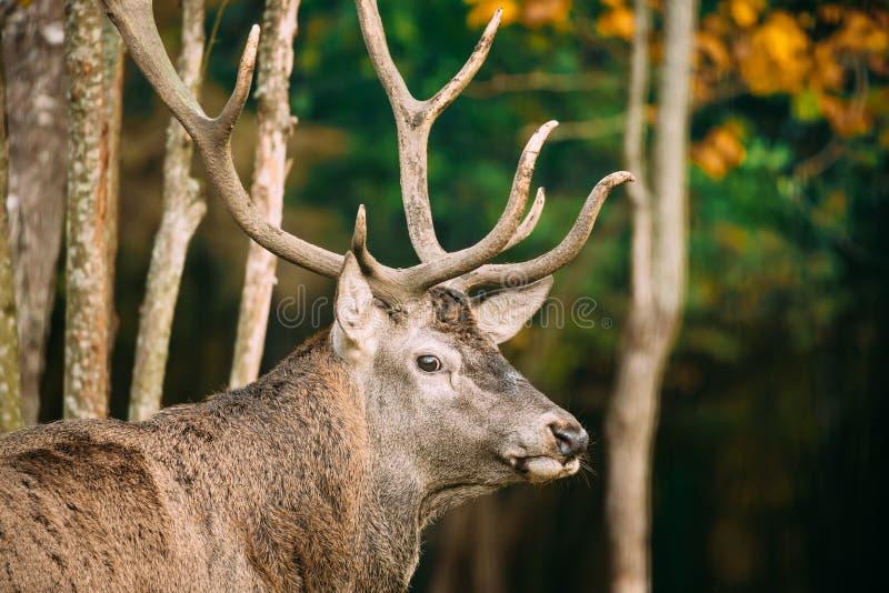 belarus Veados vermelhos ou Cervus europeu masculino Elaphus em Autumn Fore imagens de stock royalty free