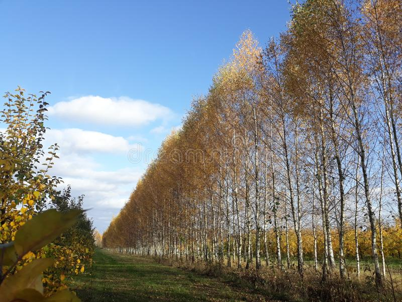 Belarusian autumn birch landscape royalty free stock image