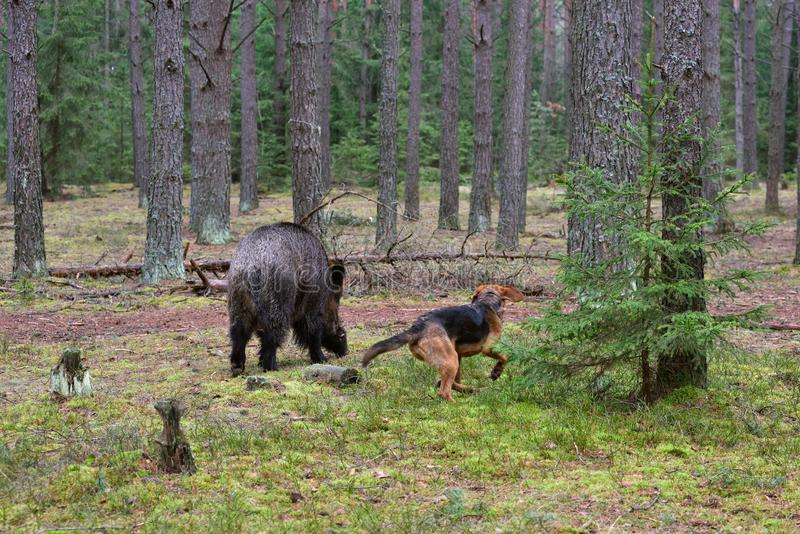 Hunting with dog. Belarusian Gonchak hound, a National dog breed of Belarus, attack a wild boar in green forest royalty free stock photos