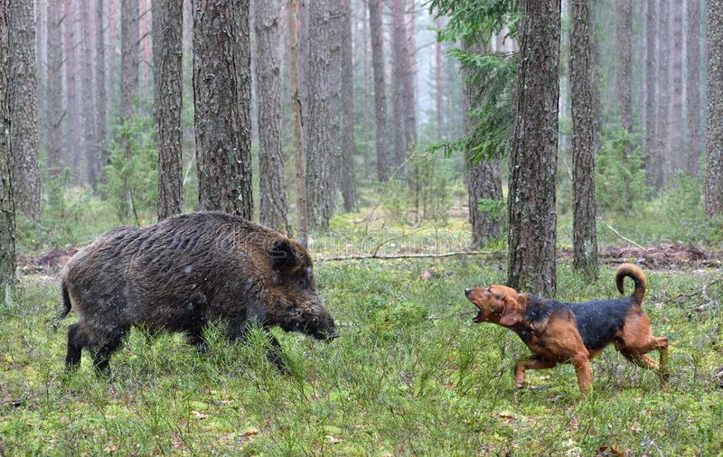 Hunting with hound on wildboar stock images