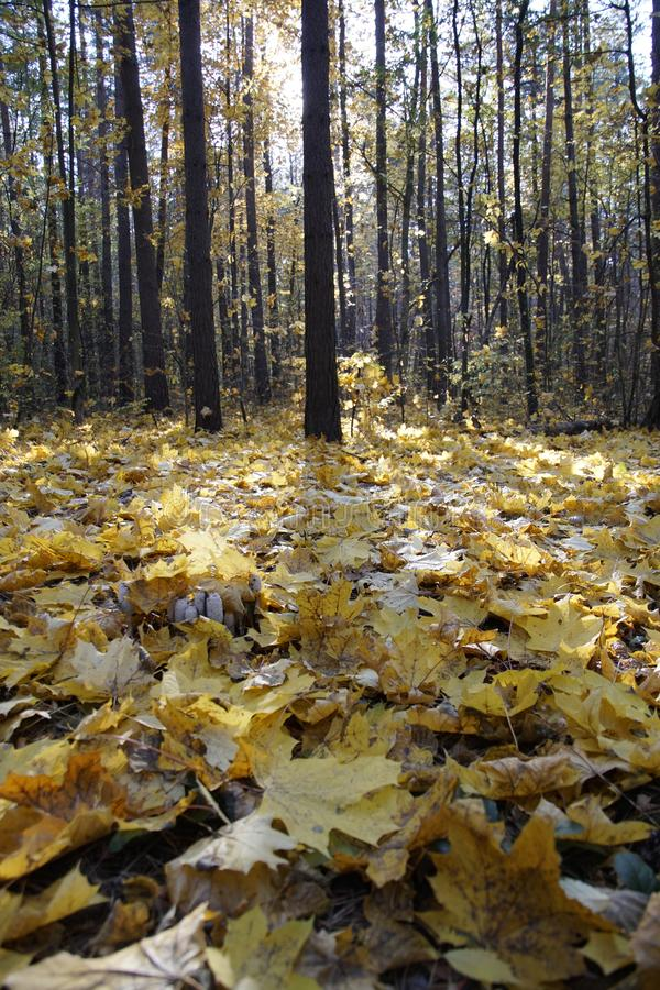 Belarusian nature. Autumn. October Forest and fallen maple leaves in the sun golden yellow stock photo