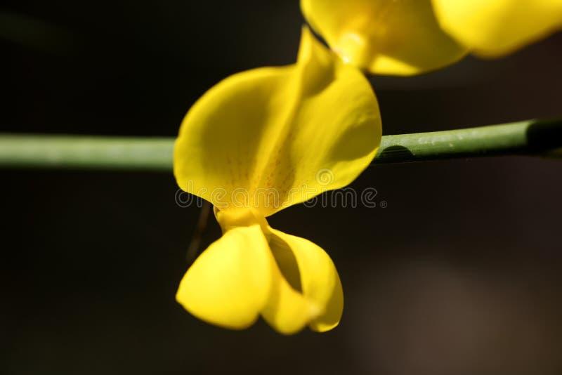 Belas artes macro do fundo da flor da flor selvagem do Cytisus nos produtos de alta qualidade 50,6 Megapixels das c?pias foto de stock royalty free