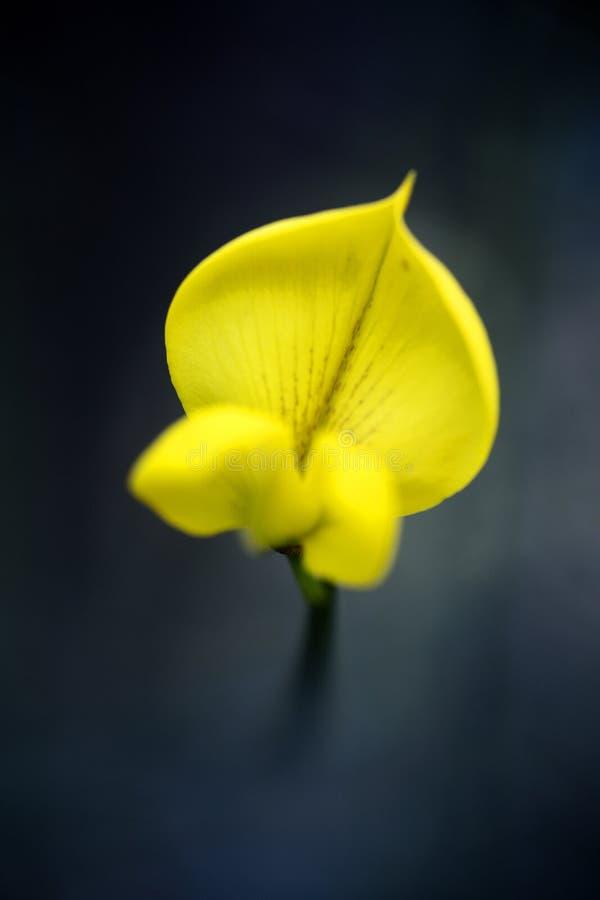 Belas artes macro do fundo da flor da flor selvagem do Cytisus nos produtos de alta qualidade 50,6 Megapixels das c?pias imagem de stock royalty free