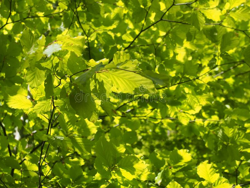 Belaubter Baumhintergrund des hellgrünen vibrierenden sonnenbeschienen Frühlinges stockfotografie
