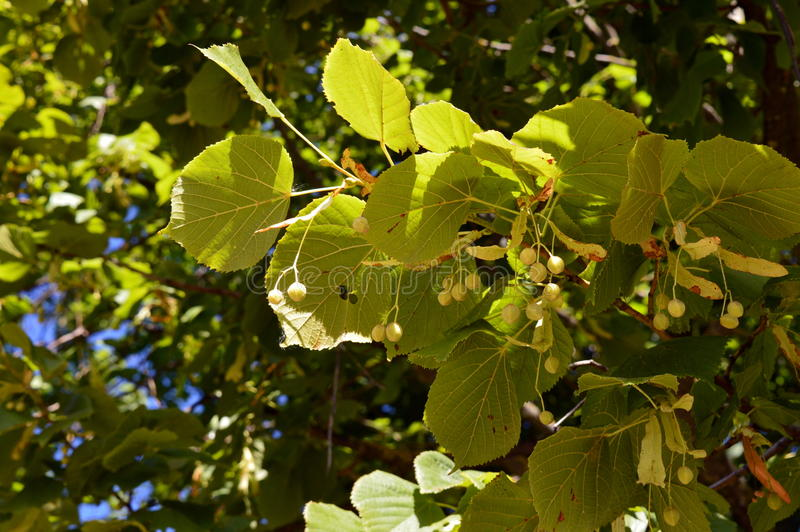 Belaubter Hintergrund der hellen Linde Laubs und seedpods stockbilder