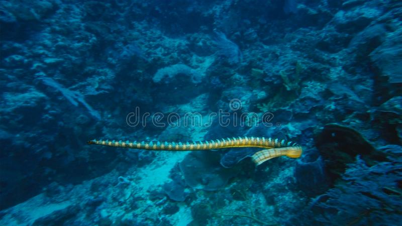 belcheri Fraco-unido de Hydrophis da serpente de mar ou da serpente de mar dos belcher que nada no recife de corais, Papua Niugin fotos de stock royalty free