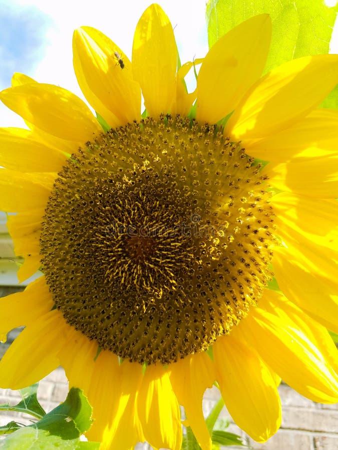 Belebende Sonnenblume lizenzfreie stockbilder