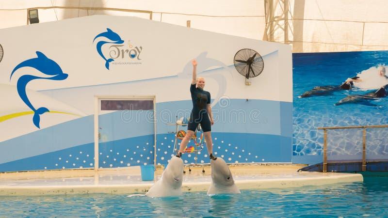 BELEK,土耳其- 2014年10月04日:海豚展示,特洛伊Dolphinarium 两条白海豚鲸鱼 免版税库存照片