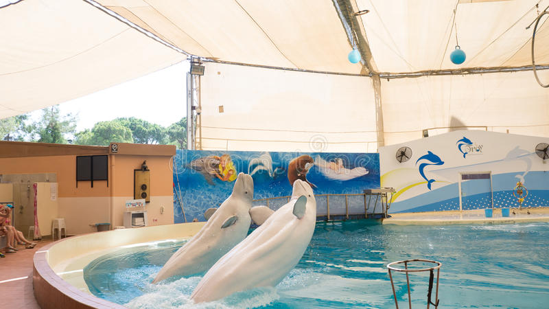 BELEK, TURKIJE - OKTOBER 04, 2014: De dolfijnen tonen, Troy Dolphinarium Twee beloegawalvissen royalty-vrije stock foto