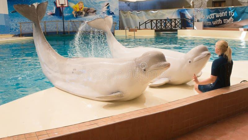BELEK, TURKIJE - OKTOBER 04, 2014: De dolfijnen tonen, Troy Dolphinarium Twee beloegawalvissen stock foto's