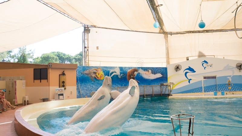 BELEK, TURQUIE - 4 OCTOBRE 2014 : Exposition de dauphins, Troy Dolphinarium Deux baleines de beluga photo libre de droits