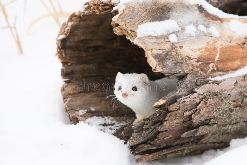 Belette coupée la queue courte mignonne dans la neige image libre de droits